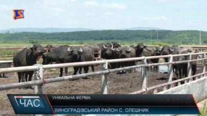 Біля Виноградова в унікальній фермі живуть 42 буйволи. ВІДЕО
